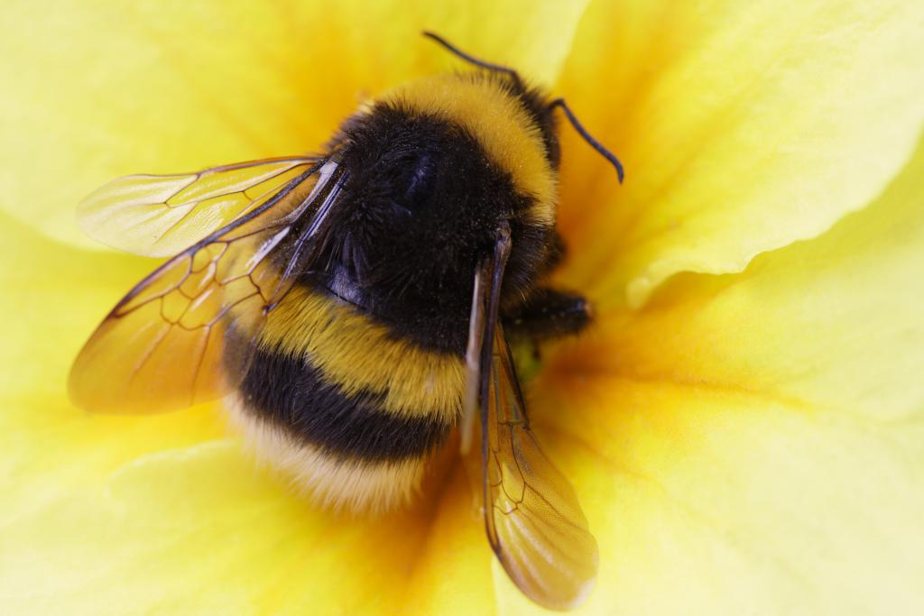 bumblebee myths about bees pollinators species